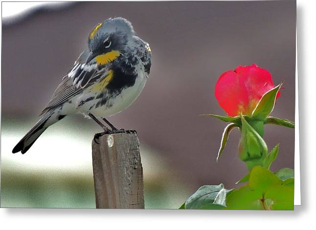 Yellow Rumped Warbler Greeting Card by Helen Carson