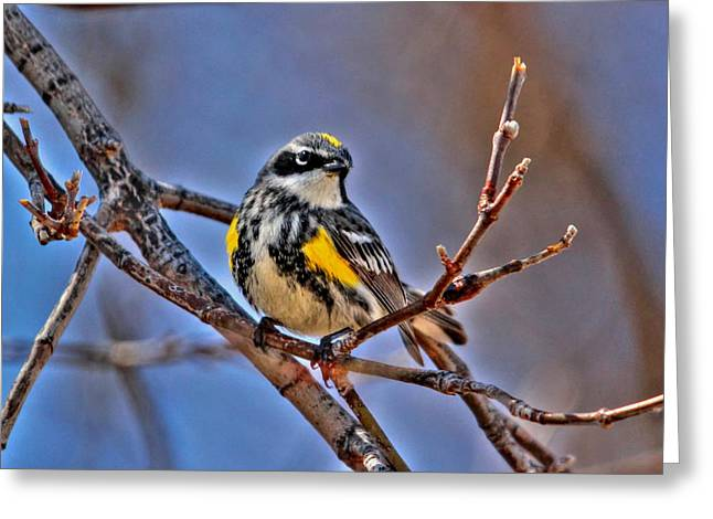 Yellow-rumped Warbler Greeting Card by Larry Trupp