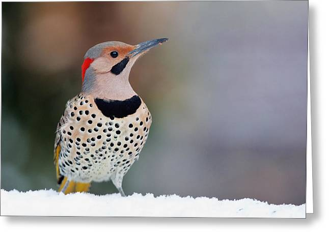 Yellow Shafted Flicker In Snow Greeting Card