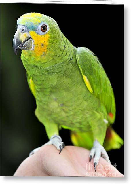 Yellow-shouldered Amazon Parrot Greeting Card by Elena Elisseeva