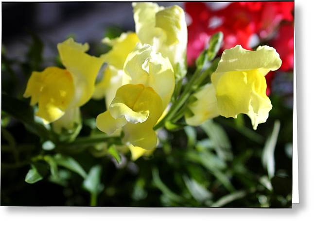 Yellow Snapdragons II Greeting Card by Aya Murrells