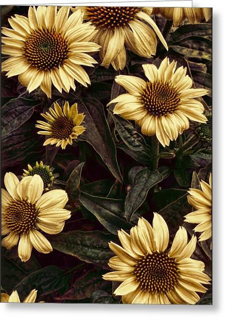 Yellow Sombrero Coneflower Greeting Card