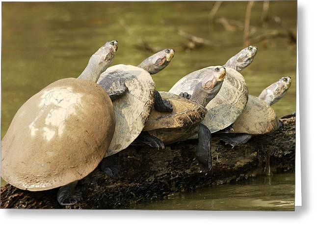 Yellow-spotted Amazon River Turtles Greeting Card by M. Watson
