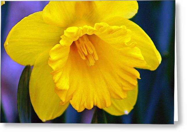 Greeting Card featuring the photograph Yellow Spring Daffodil by Kay Novy