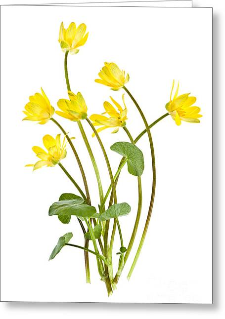 Yellow Spring Wild Flowers Marsh Marigolds Greeting Card by Elena Elisseeva