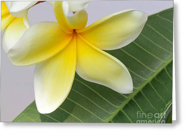 Yellow Star Plumeria Greeting Card by Sabrina L Ryan