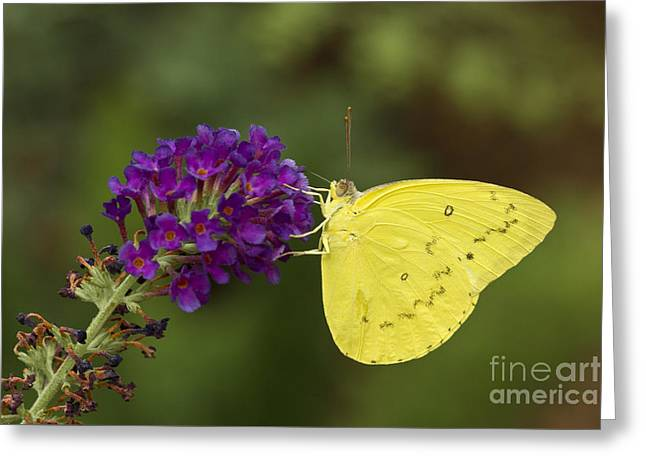 Yellow Sulfur On Butterfly Bush Greeting Card