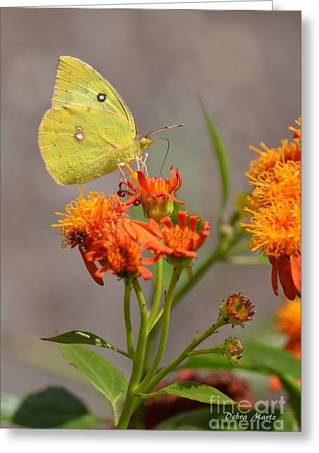 Greeting Card featuring the photograph Yellow Sulphur Butterfly by Debra Martz
