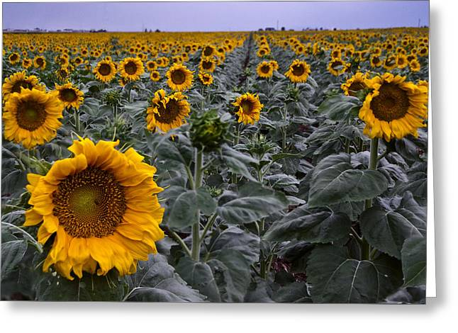 Yellow Sunflower Field Greeting Card