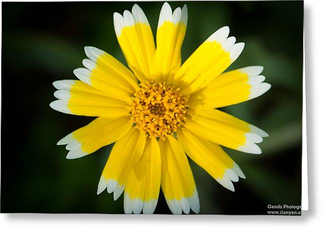 Yellow Sunshine  Greeting Card by Gandz Photography