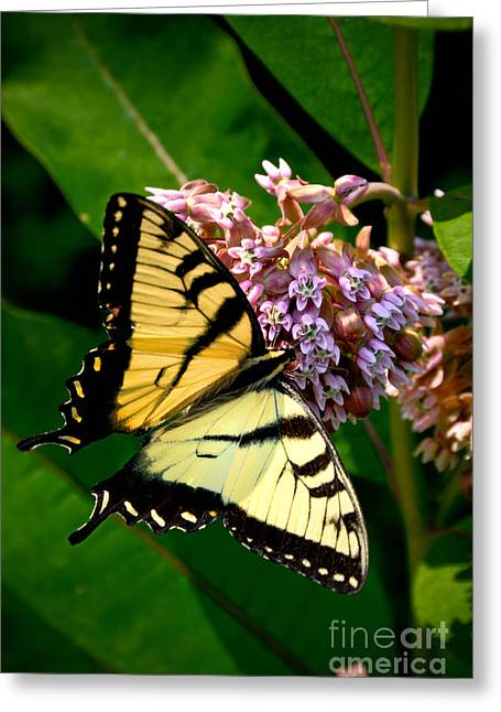 Yellow Swallowtail Butterfly Greeting Card by Amy Cicconi
