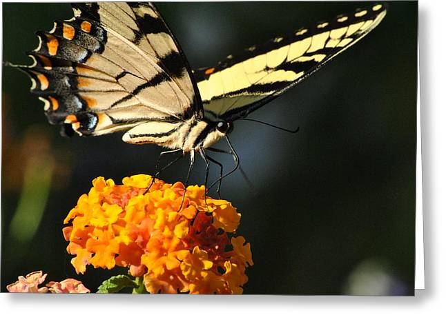 Greeting Card featuring the photograph Yellow Swallowtail by Kelly Nowak