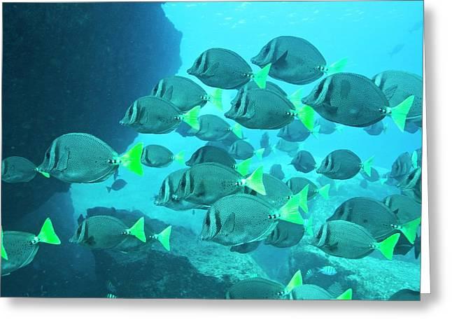 Yellow Tailed Surgeonfish Greeting Card