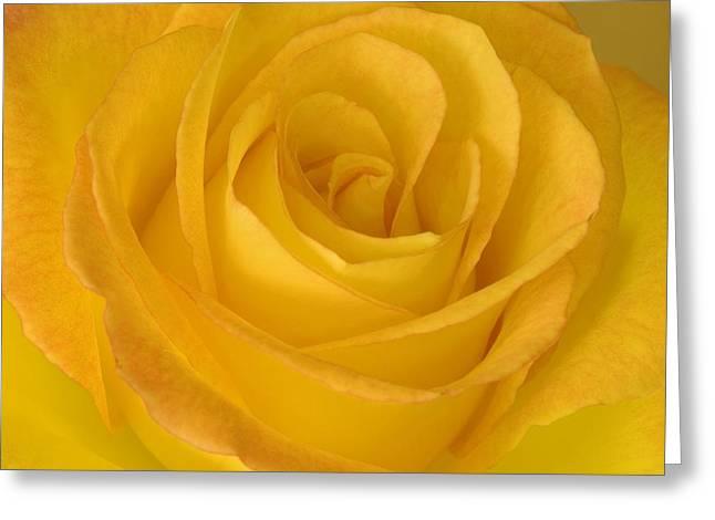 Yellow Tea Rose Greeting Card by John Pitcher