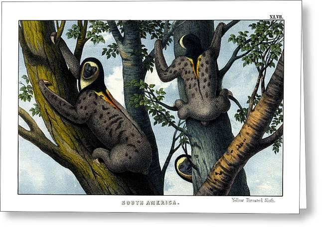 Yellow Throated Sloth Greeting Card by Splendid Art Prints