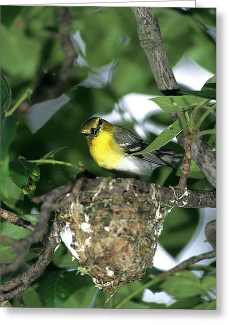 Yellow-throated Vireo (vireo Flavifrons Greeting Card