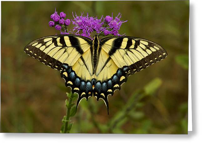 Yellow Tiger Swallowtail Butterfly. Greeting Card