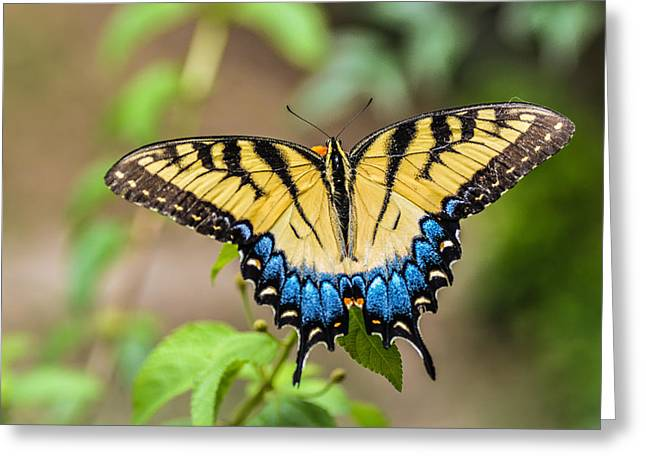 Yellow Tiger Swallowtail Greeting Card