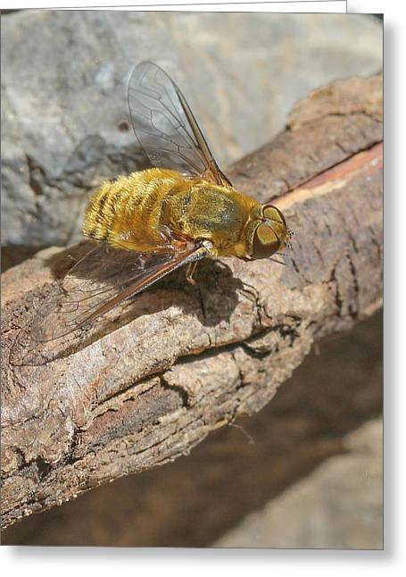 Greeting Card featuring the photograph Yellow True Bee Fly - Bombiliinae by Jivko Nakev