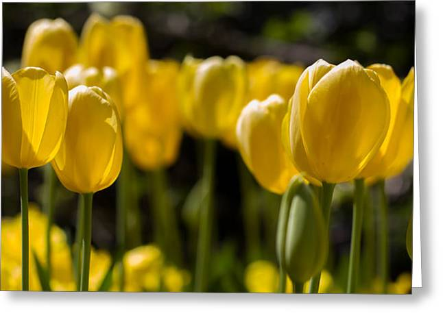 Yellow Tulips On Parade Greeting Card