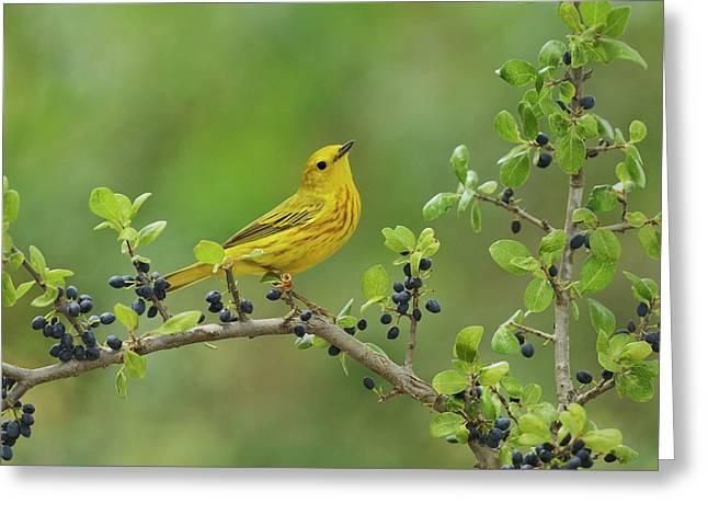 Yellow Warbler (dendroica Petechia Greeting Card