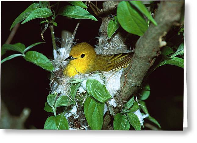 Yellow Warbler Dendroica Petechia Greeting Card