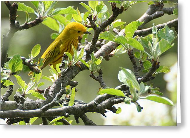 Yellow Warbler In Pear Tree Greeting Card