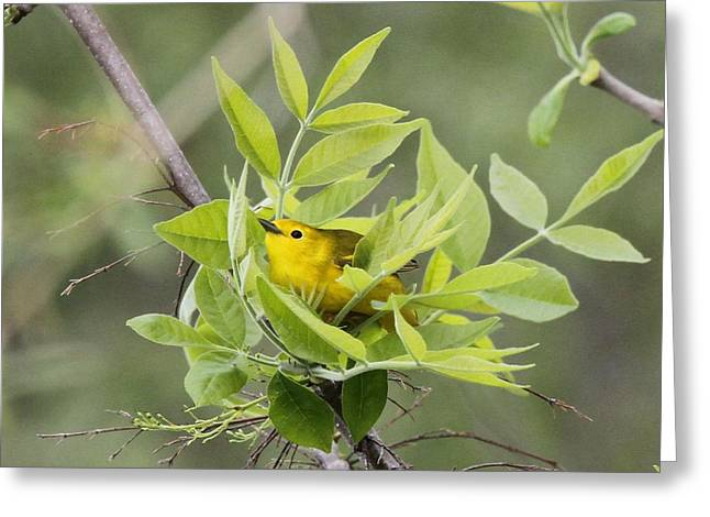 Yellow Warbler Surprise Greeting Card