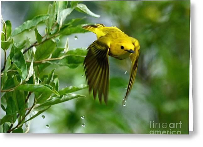 Yellow Warbler Takes Flight Greeting Card