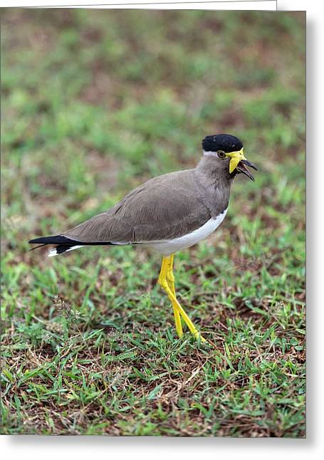 Yellow-wattled Lapwing Greeting Card