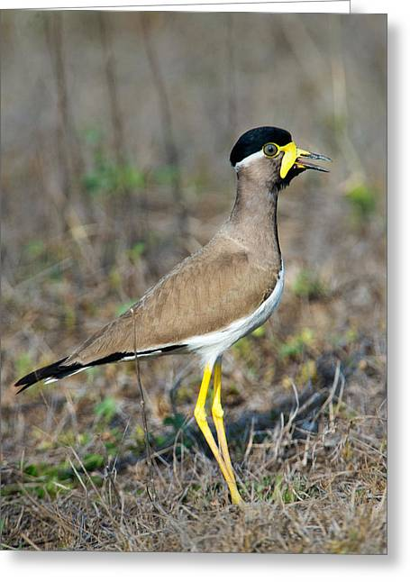 Yellow-wattled Lapwing Vanellus Greeting Card
