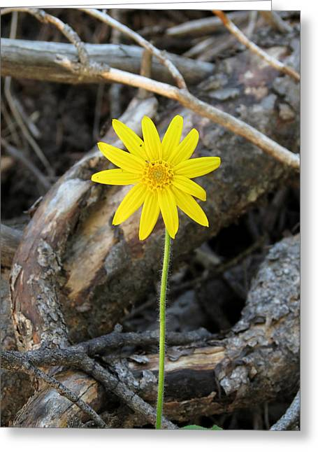 Greeting Card featuring the photograph Yellow Wildflower by Laurel Powell