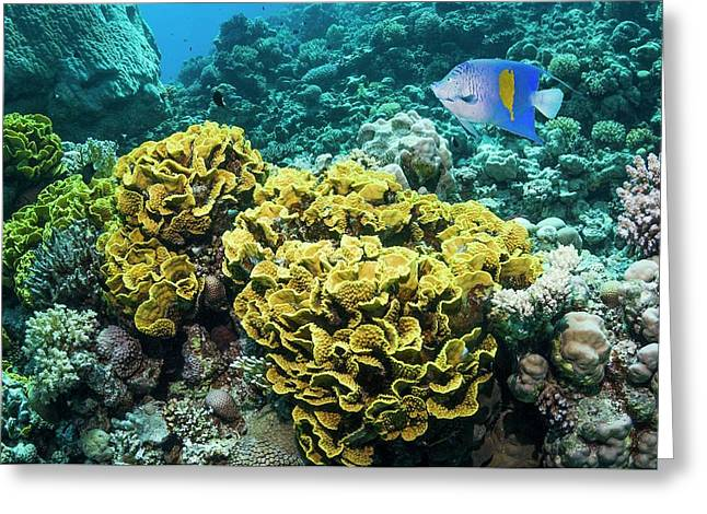 Yellowbar Angelfish Over Lettuce Coral Greeting Card by Georgette Douwma