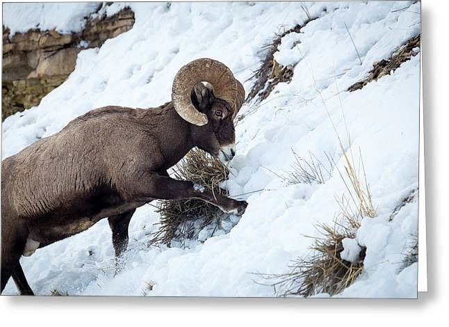 Yellowstone Bighorn Greeting Card