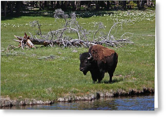 Yellowstone Bison By Nez Perce Creek Greeting Card
