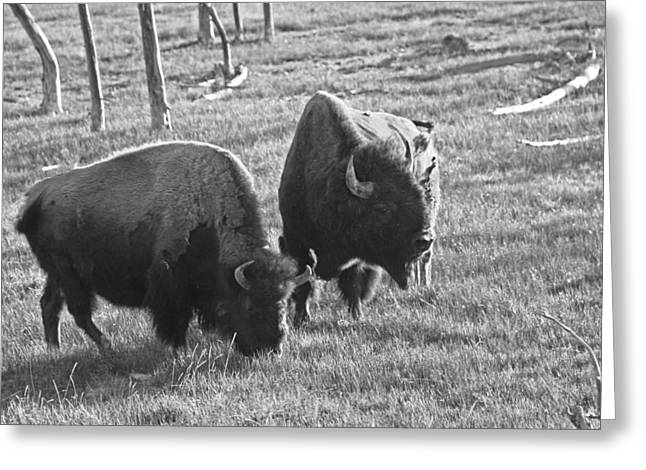 Yellowstone Bison In Late Afternoon Greeting Card