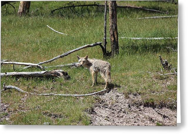 Yellowstone Coyote Greeting Card