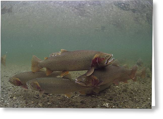 Yellowstone Cutthroat Trout In Stream Greeting Card by Michael Quinton