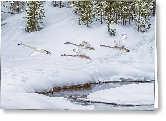 Yellowstone Geese Fly By Greeting Card
