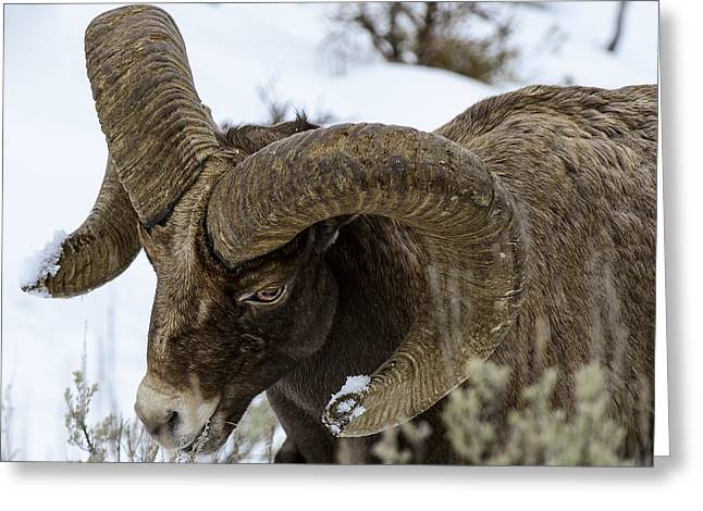 Yellowstone Ram Greeting Card