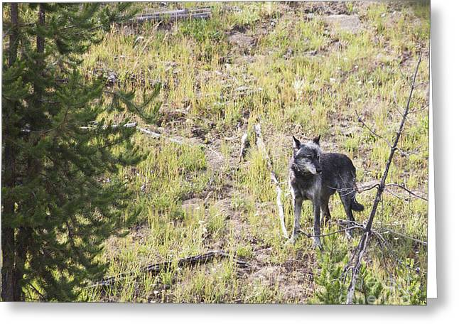 Greeting Card featuring the photograph Yellowstone Wolf by Belinda Greb