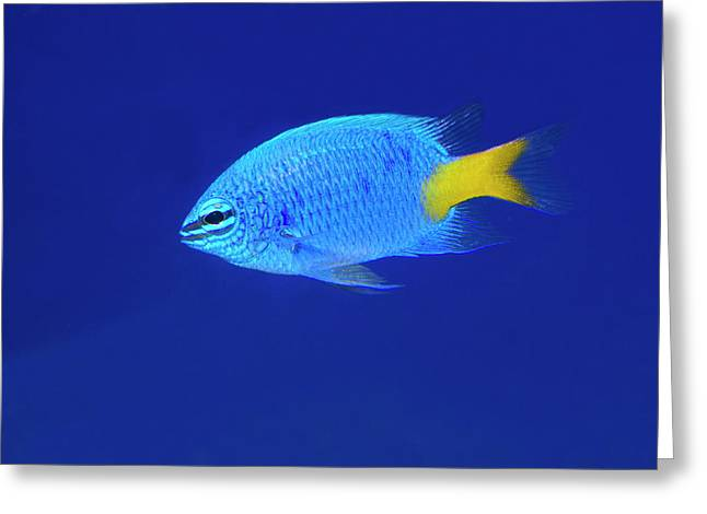 Yellowtail Damselfish Greeting Card