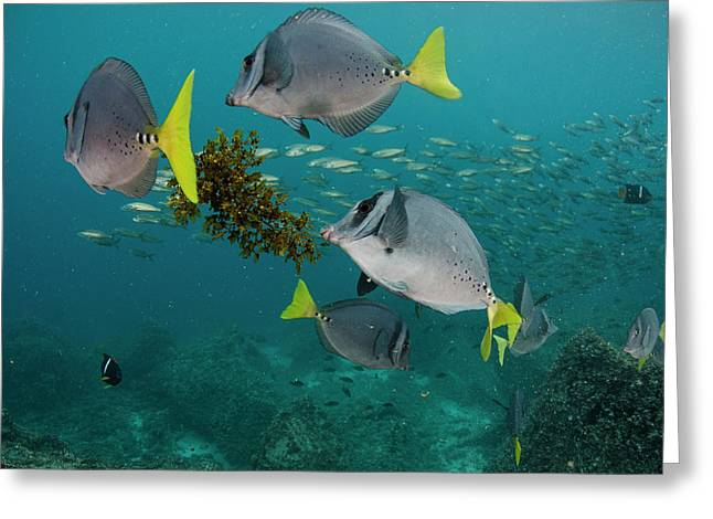 Yellowtail Surgeonfish (prionurus Greeting Card
