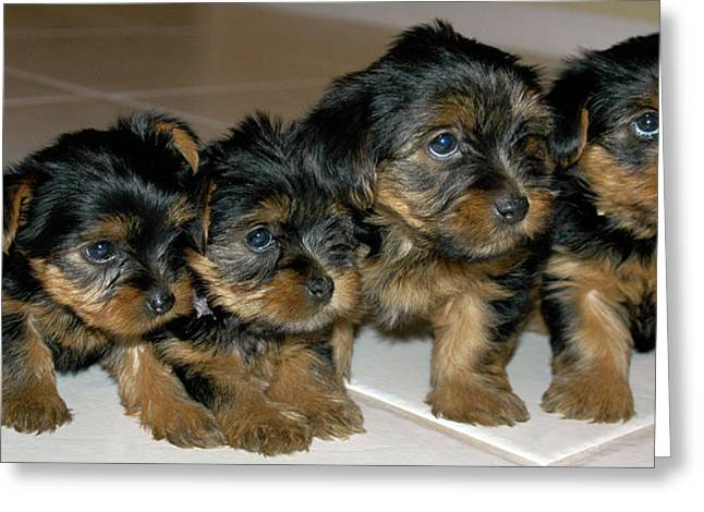 Yorkie Puppies-we're Sorry Greeting Card