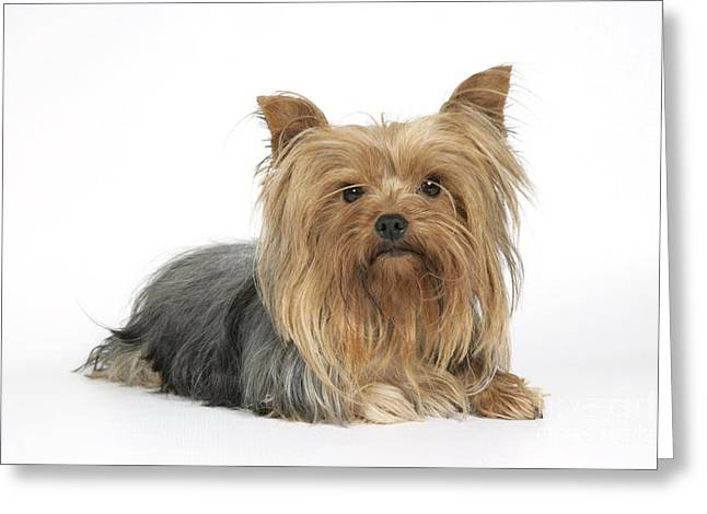 Yorkshire Terrier Dog Greeting Card by John Daniels