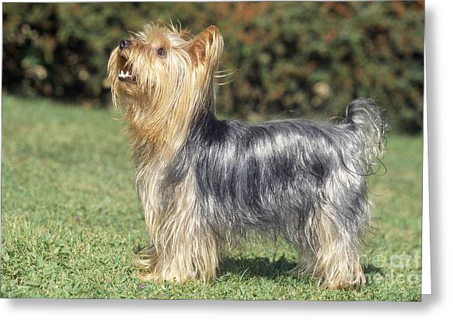 Yorkshire Terrier Dog Greeting Card by M. Watson