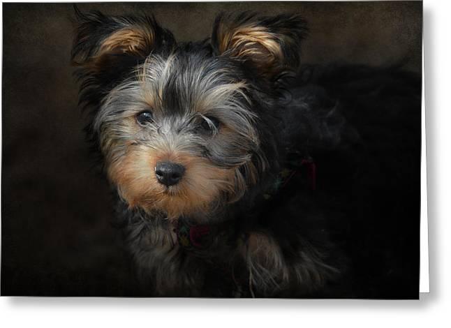 Yorkshire Terrier Puppy Portrait Greeting Card by Jai Johnson