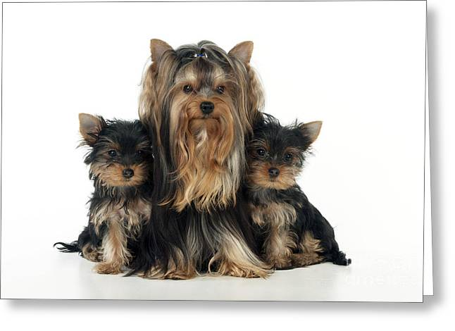 Yorkshire Terrier With Puppies Greeting Card by John Daniels
