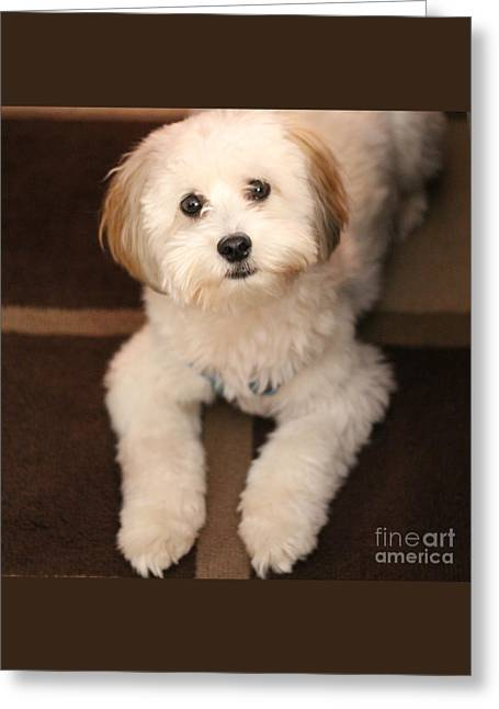 Yoshi Is One Today - Havanese Puppy Greeting Card by Barbara Griffin