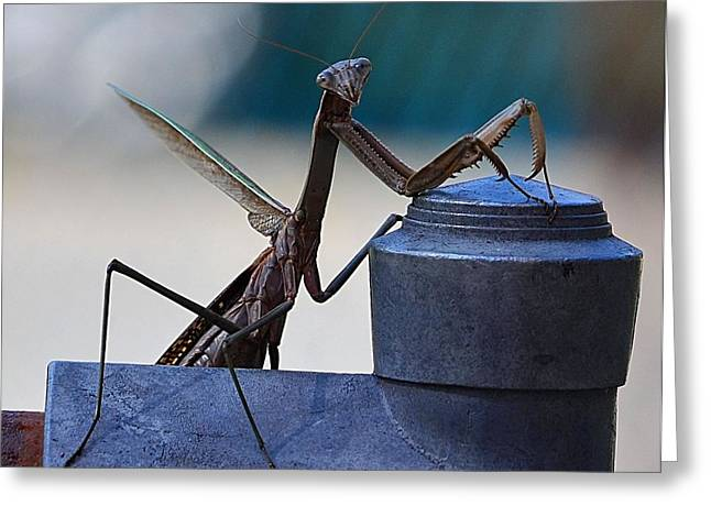 You Looking At Me - Pray Mantis Greeting Card by Kathy Eickenberg